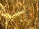 Россия вышла на второе место в мире среди экспортеров зерна