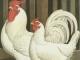 Китай наложит пошлину на импорт курицы из США
